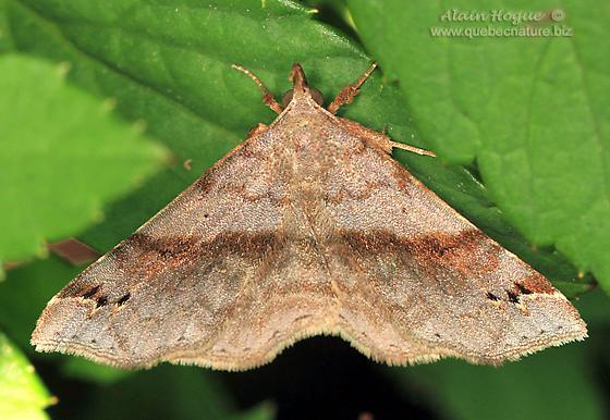 Moth - Spargaloma sexpunctata