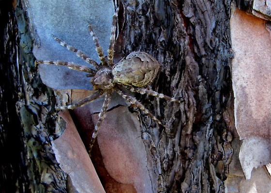 Longleaf Pine Spider Dolomedes Albineus Bugguide Net