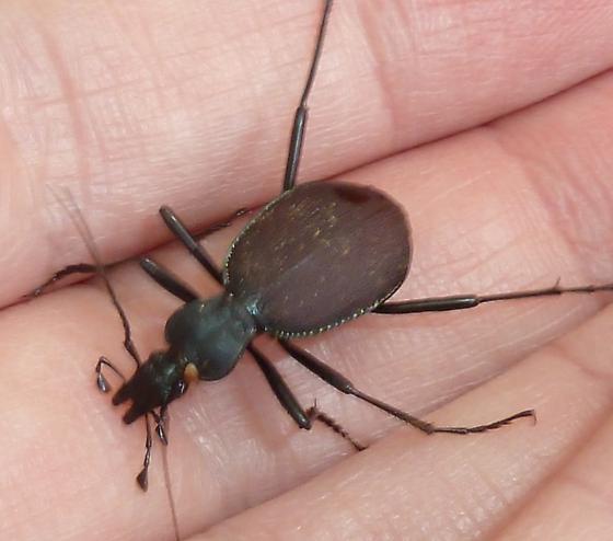 Scaphinotus? - Scaphinotus angusticollis