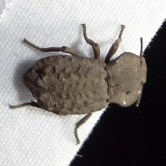 Beetle ID Request - Pelecyphorus regularis