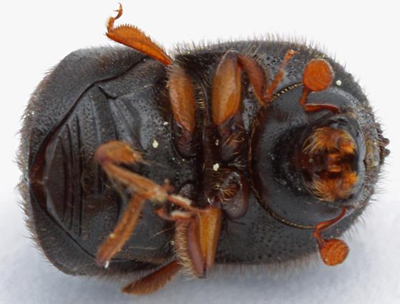 Xylosandrus mutilatus? - Cnestus mutilatus - female