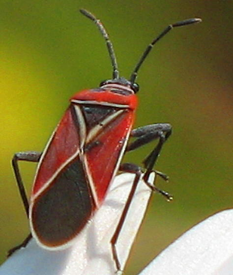 bright patterned red bug on daisy  - Neacoryphus bicrucis