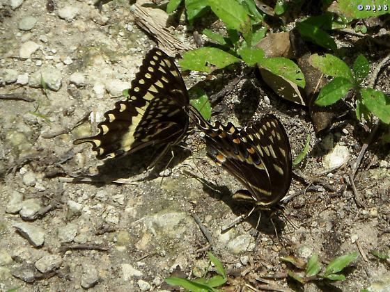 which swallowtail in Florida?  - Papilio palamedes