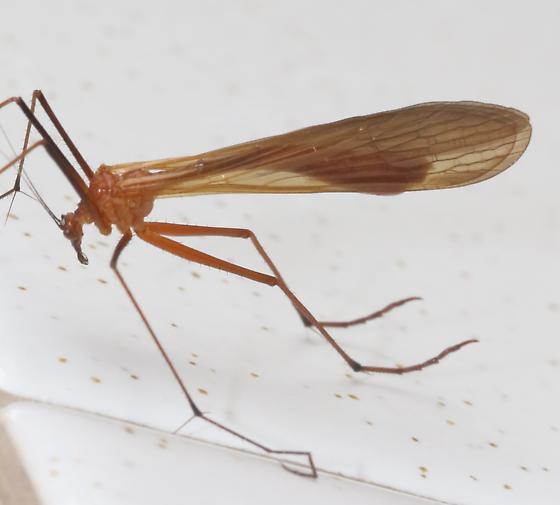 Tipulidae? - Bittacus occidentis