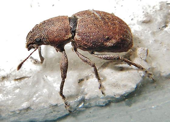A broad-nosed weevil? - Naupactus cervinus
