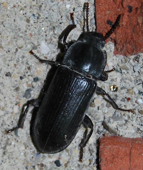 A beetle - Tenebrio molitor