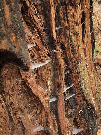 Driftweb Spiders, on Redwood Tree