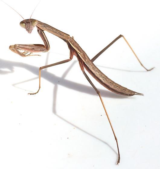 Tenodera sinensis - male