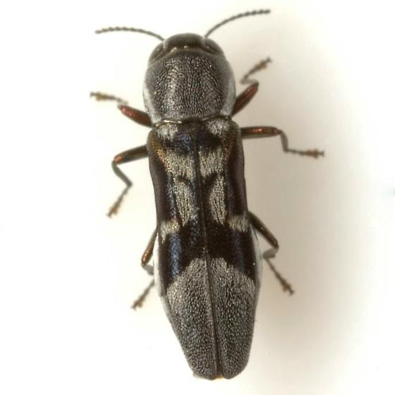 Agrilus ornatulus Horn - Agrilus ornatulus