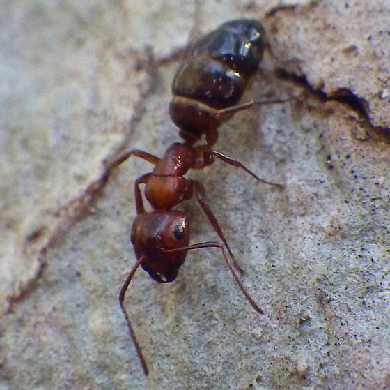 Camponotus sayi (major worker) - Camponotus sayi - female