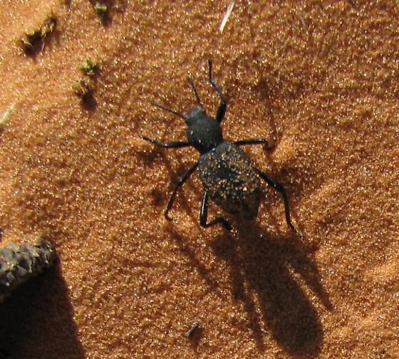 Beetle on Coral Pink Sand Dunes in Utah - Eleodes pilosa