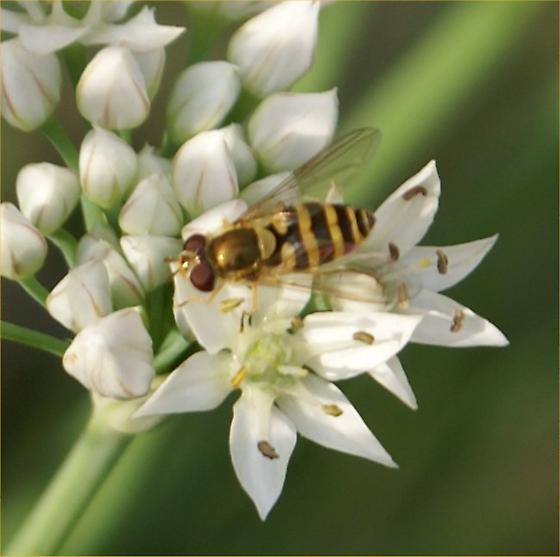 Bee with black & yellow stripes on alium