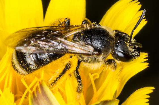 Bee - Lasioglossum leucozonium