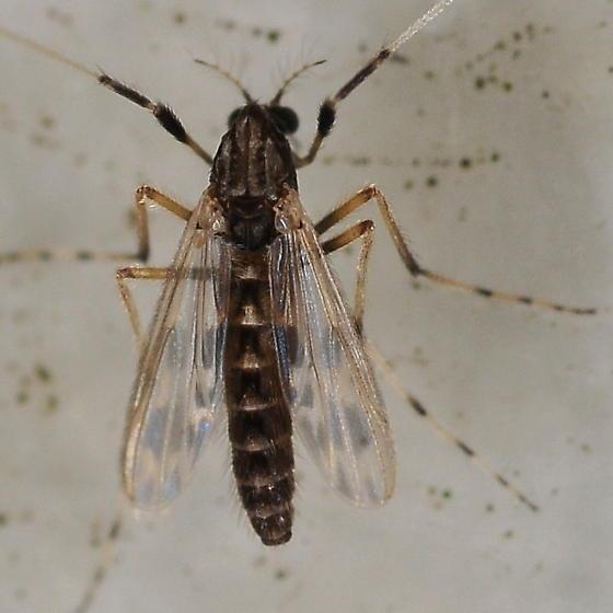 Midge - Zavreliella marmorata - female