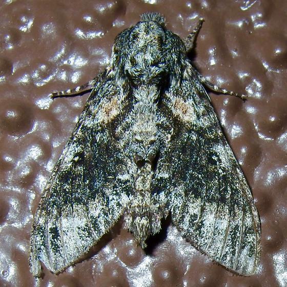 unknown moth - Dolbogene hartwegii