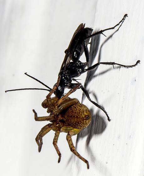 Spider Wasp (Pompilidae) - Anoplius - female
