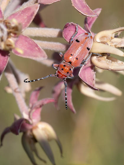 Which bug is this? - Tetraopes femoratus