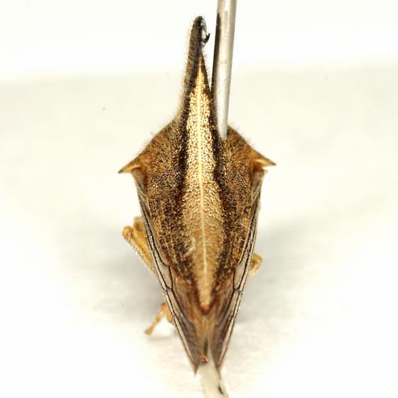 Glossonotus turriculatus (Emmons) - Glossonotus turriculatus