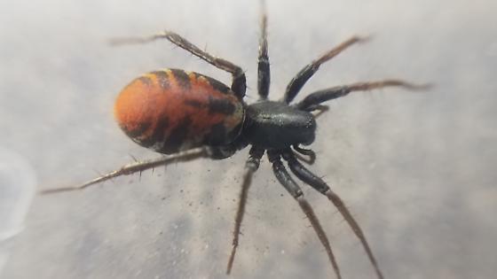 Castianeira, perhaps C. descripta - Castianeira
