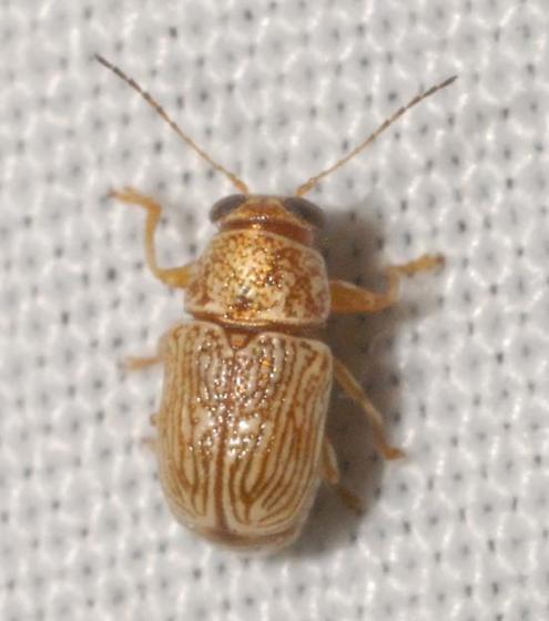 Pachybrachis diversus Fall - Pachybrachis diversus