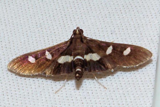 White-headed Grape Leafroller - Desmia maculalis. - Desmia maculalis - male