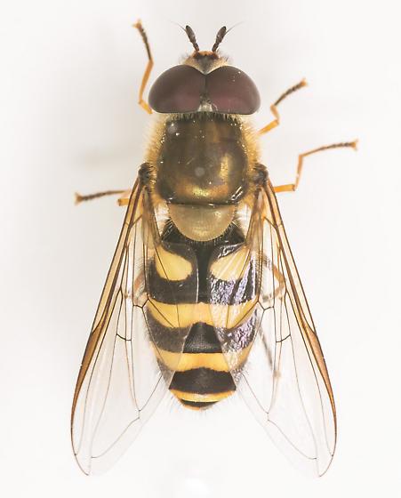 Syrphid - Syrphus ribesii - male