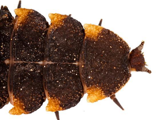 Elateroidea - Lycus sanguineus