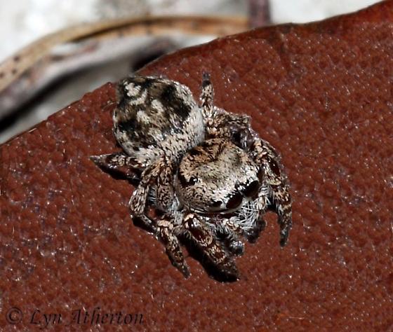 Ocala Jumper - Habronattus ocala - female