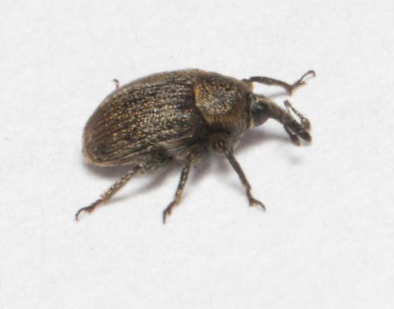 European Curculionid Weevil, lateral - Rhinusa tetra