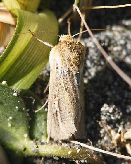 Sand-verbena Moth - Copablepharon fuscum