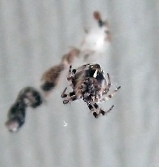 Metepeira spider  - Metepeira comanche - female