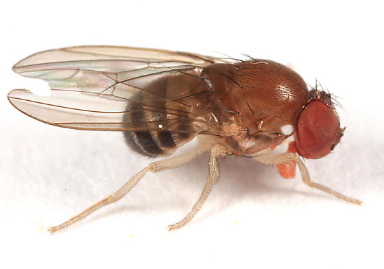 chubby little fly - Amiota
