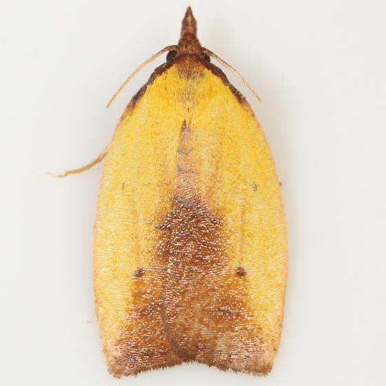 Symplocos leaftier - Cenopis lamberti