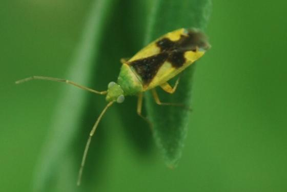 Yellow Plant Bug - Reuteroscopus ornatus