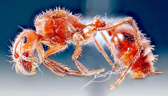 Mojave-24 - Pogonomyrmex - female
