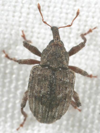 Weevil - Conotrachelus seniculus