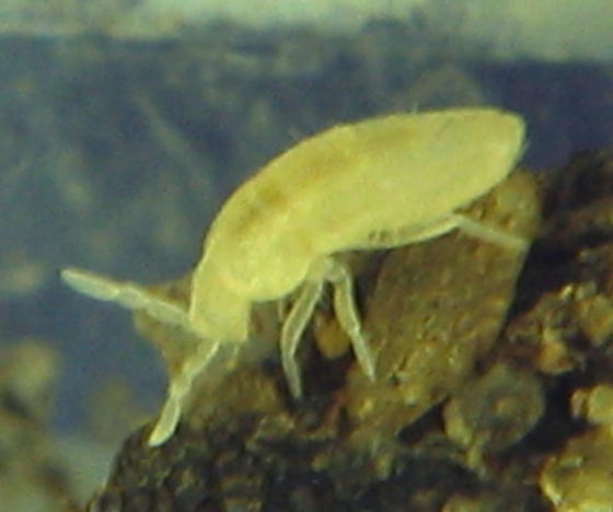 Is this even a springtail? - Pseudosinella rolfsi