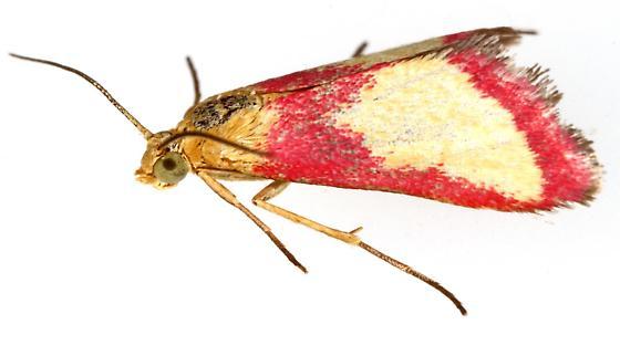 Crambidae - Mojavia achemonalis