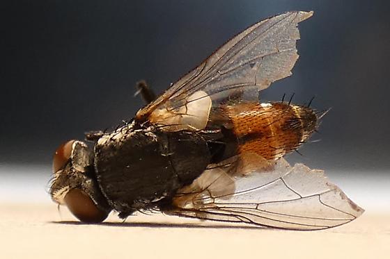 Oestroidea sp.