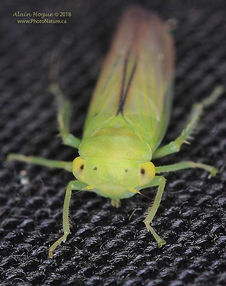Cicadellidae - Idiocerus