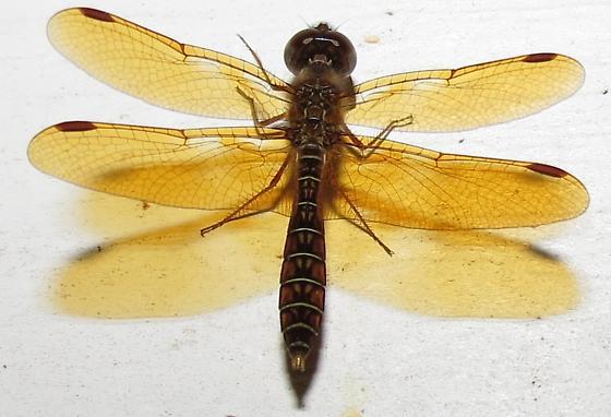 dragonfly - Perithemis tenera - male