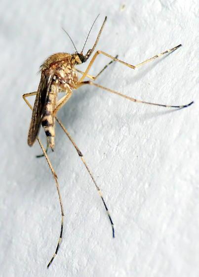 Ochlerotatus stimulans? - Ochlerotatus stimulans - female