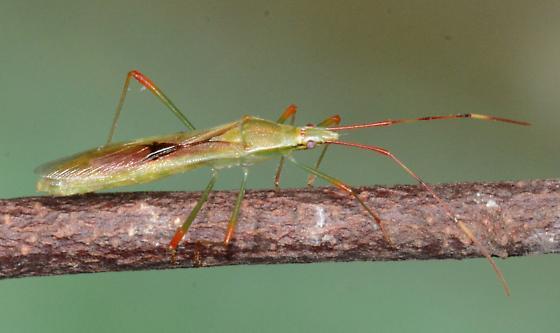 Rice Bug - Stenocoris