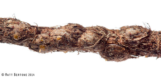 peony scale - Pseudaonidia paeoniae - female
