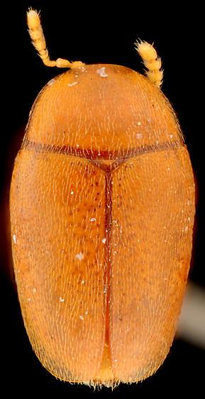 Arthrolips sp., dorsal - Arthrolips