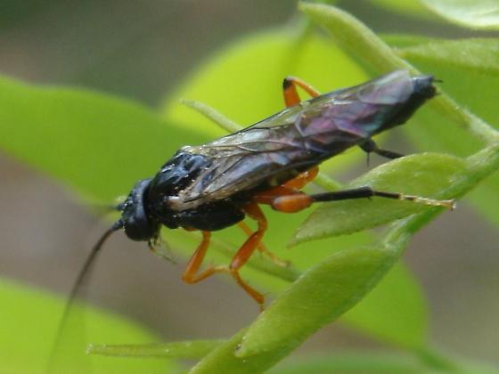 Another black locust feeder Nematus?