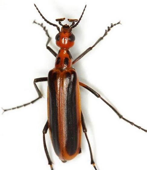 Pyrota tenuicostatis (Dugès) - Pyrota tenuicostatis
