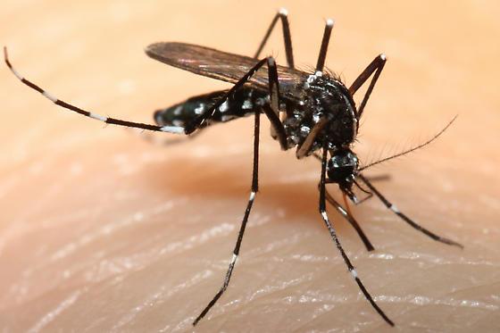 Aedes albopictus?? - Aedes albopictus - female