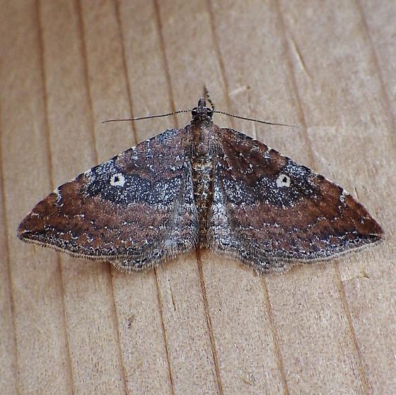 Geometridae: Orthnama obstipata - Orthonama obstipata - female