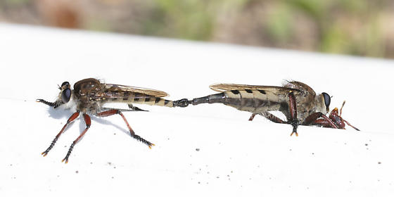Mating robbers - Promachus hinei - male - female